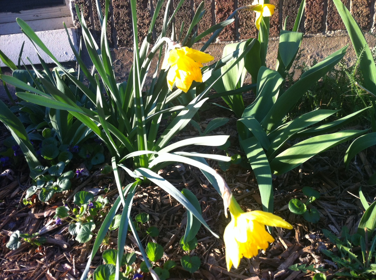 drooping daffodils